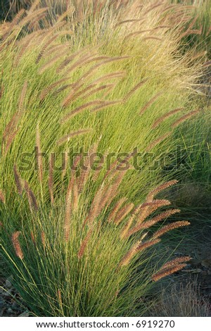 Tall grasses waving in a gentle breeze in late afternoon sunlight; Riverside, California