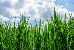 Tall Green Grasses with Blue Sky