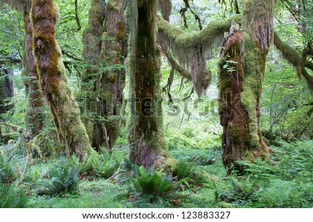 Tall, green  trees in largest rain forest in the western hemisphere, in Olympic National Park, Washington, USA