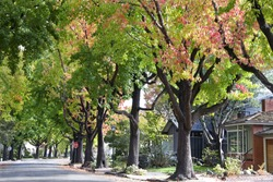 Tall Liquid ambar, commonly called sweetgum tree, or American Sweet gum tree, lining an older neighborhood in Northern California