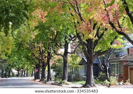 Shutterstock Tall Liquid ambar, commonly called sweetgum tree, or American Sweet gum tree, lining an older neighborhood in Northern California