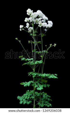 Tall meadow-rue blooming in spring. The white flowers have no petals; the starburst blooms are composed of stamens. #1269206038