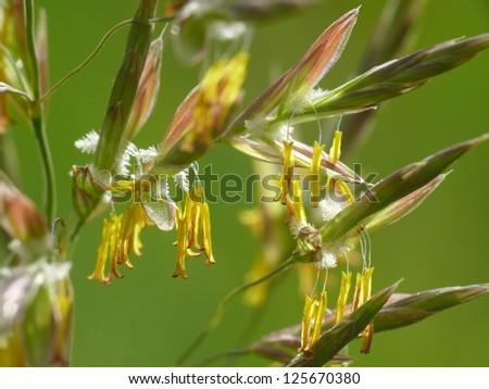 tall oatgrass