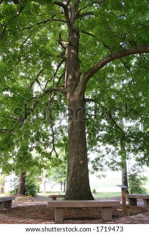 Hickory Tree Identification http://www.shutterstock.com/pic-1719473/stock-photo-tall-old-hickory-tree.html