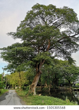 Tall old Rain tree or East Indian Walnut or Monkey pod standing inbetween asphalt street and lake in park. Green leaves in each branch. Cloudy sky and trees as background. Zdjęcia stock ©