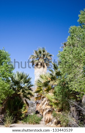 Tall palms at Cottonwood Springs oasis in Joshua Tree National Park in California