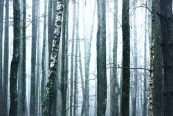 Tall pine and birch tree trunks (stumps) in a thick white dog, dark silhouettes close-up. Graphic resources, natural texture, pattern, background