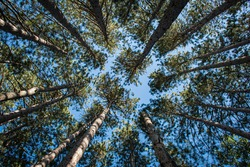Tall pine tress from the ground up perspective on a blue  sky background