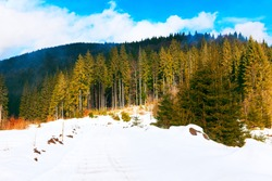 Tall pines snowy scenery . Evergreen forest in the winter