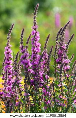 Free photos tall purple flowers avopix tall purple flowers 1190513854 mightylinksfo