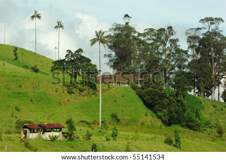 Tall Quindio Wax Palms (lat. Ceroxylon quindiuense), which is the national tree of Colombia, surrounding a farm in the Cocora Valley in Colombia