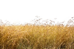 Tall red oat grass isolated on white for easy extraction