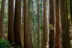 Tall Redwoods in Stout Grove, Jedediah Smith Redwoods State Park grow straight and tall and appear almost parallel.