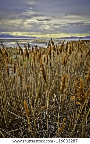 Tall reeds line The Great Salt Lake