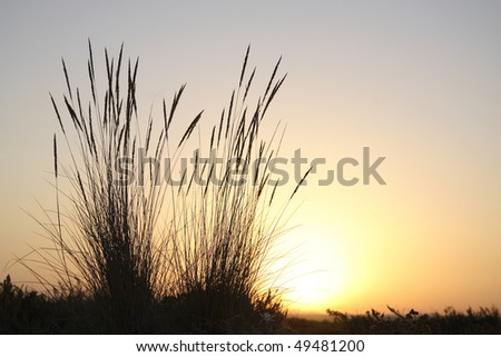 Tall reeds on beach at sunset with the sun shining in the background. Horizontal shot.