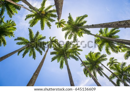 Tall royal palm trees line up against bright blue tropical sky in Rio de Janeiro, Brazil