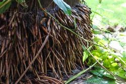Tall Royal Palms Tree Dense Roots.