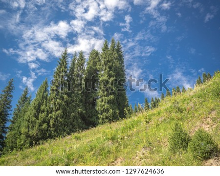 Tall spruce-trees growths on slope of the hill covered by green grass under blue sky with clouds. Fragment of the fir  forest with high trees in mountains Trans-Ili Alatau region in Kazakhstan.