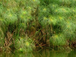 Tall stand of papyrus (binomial name: Cyperus papyrus), also known as paper reed and Nile grass, native to Africa, flourishing at edge of garden pond in Florida, for background or historical context