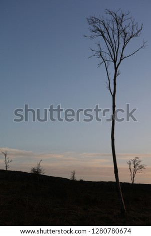 Tall   thin tall ash tree silhouette in wild moorland with a calm  blue Winter sky and wispy clouds #1280780674