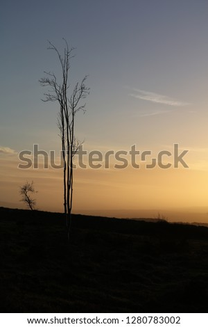 Tall  thin tall ash tree silhouetted in wild moorland with a calm  blue and yellow  Winter sky and wispy clouds #1280783002