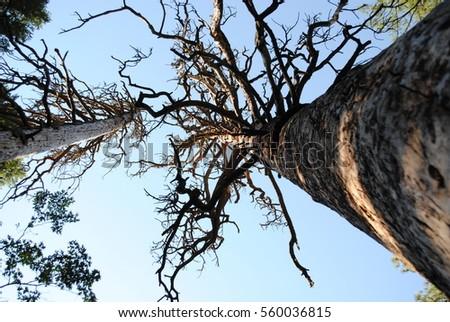 tall tree #560036815