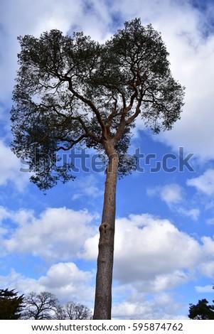 Tall Tree #595874762