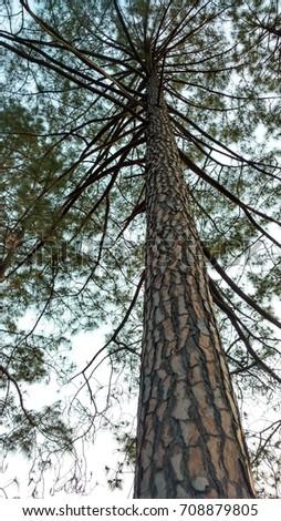 tall tree #708879805