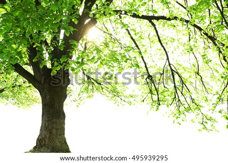 Tall tree isolated on white background