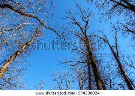 Tall Trees #594308024