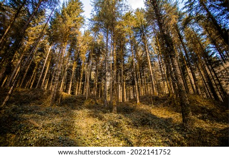 Tall trees in a pine forest. Pinewood forest. Pine forest. Pine tree forest view
