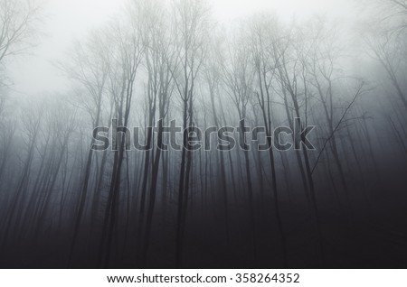 Stock Photo tall trees in fog in forest