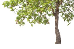 Tall trees isolated on white background