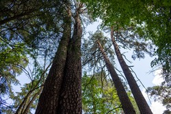 Tall twin pines in Borovsky pine forest