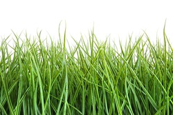 Tall wet grass against a white background
