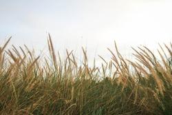 Tall Wheat Grass