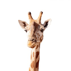 Tallest living terrestrial animal and largest ruminants are the distinctively patterned giraffe. Isolated on a white background.