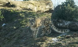 Tallinn  Estonia - March 04 2021: Portrait of a snow leopard (Panthera uncia) in big enclosure. Huge cat enjoying spring sunny day in Tallinn Zoo.