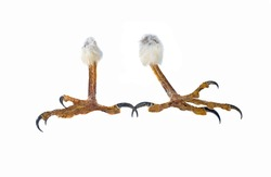 talons of the eagle isolated on a white background