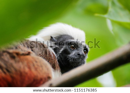Tamarin bearded in a tree crown. Monkeys from the family of marmosets
