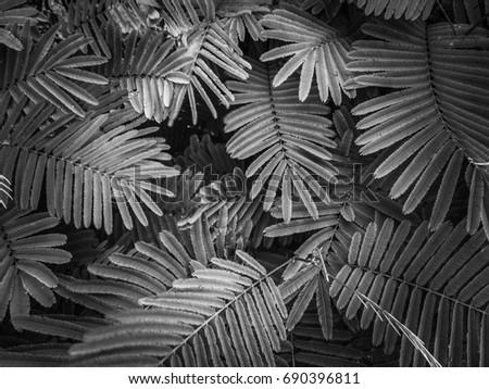 tamarin leaf black and white