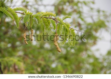 Tamarind, a large tree named Tamarindus indica L. in the Caesalpiniaceae family The result is a long pod, bend the neck into an item Hard and brittle pods, the flesh in the pods are sour, #1346690822