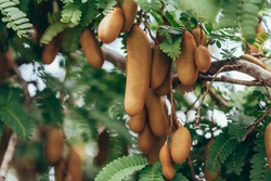 Tamarind fresh fruit on tree, Tropical fruits, Tree tamarind. Raw tamarind on tree