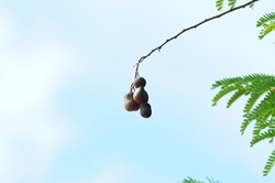 Tamarind fruit and green leaves on the tree.Close up raw Tamarind fruit hang on the tamarind tree. Tamarind fruit on blue sky background.