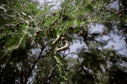 Tamarind tree and its fruit