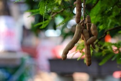 Tamarind tree. Royalty high quality free stock image of tamarind on tree.  Tamarind is a sour fruit with many acid