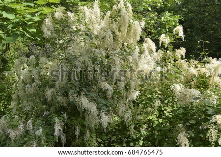 Tamarix Tree With Tiny White Flowers Inflorescence Ez Canvas