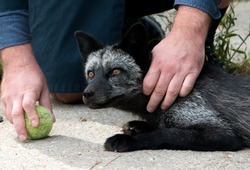 Tame domesticated fox playing ball with researcher