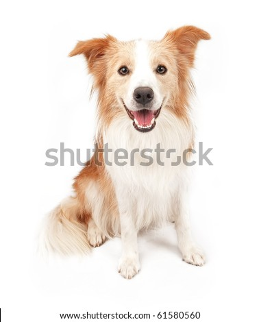 Tan and white Border Collie dog sitting down and looking forward. Isolated on white.