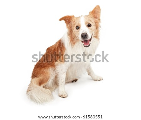 Tan and white Border Collie dog sitting down and looking happy. Isolated on white.
